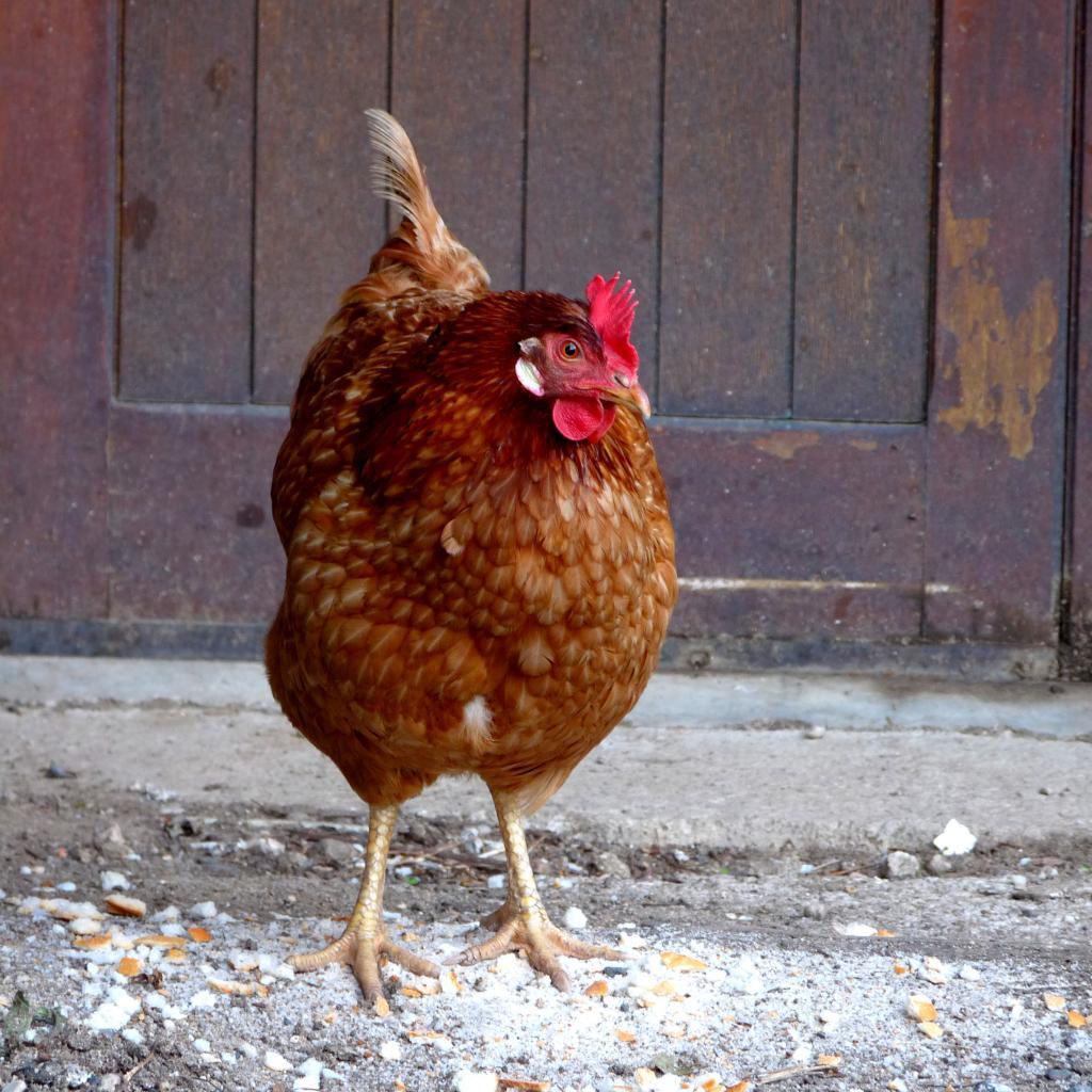 la poule rousse