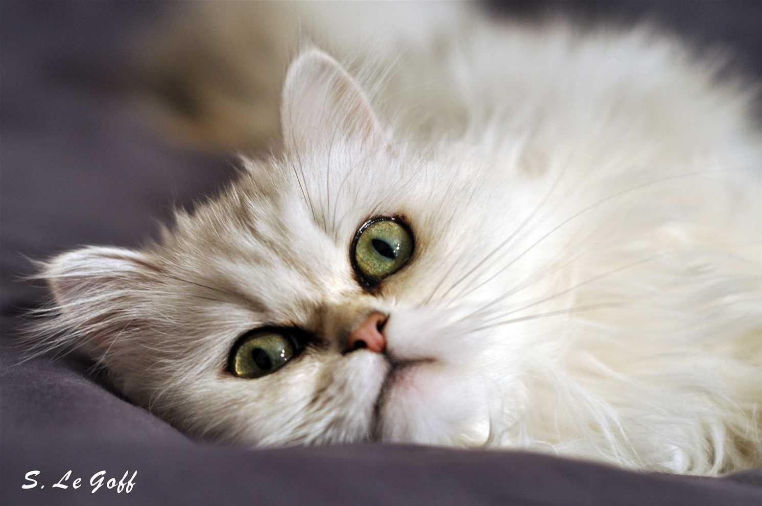 Chat angora blanc