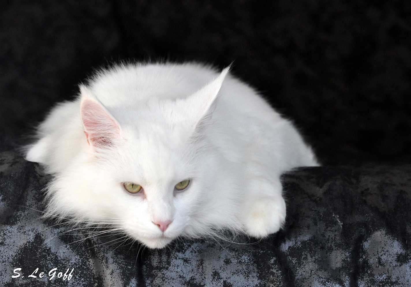 Chat maine coon blanc