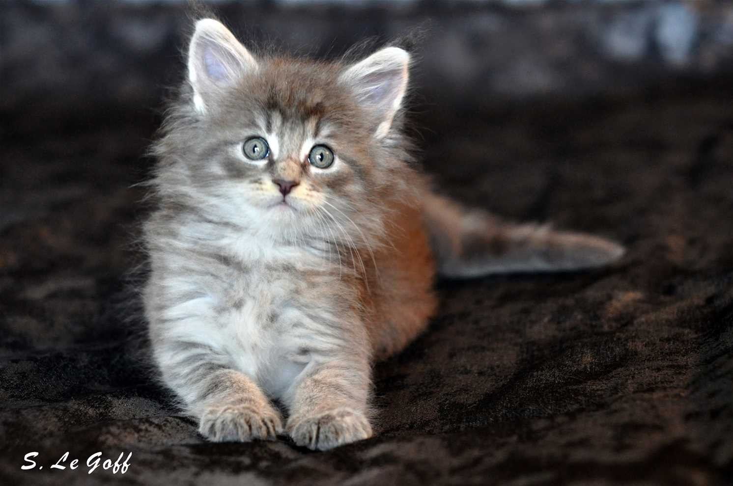 Chaton maine coon 1