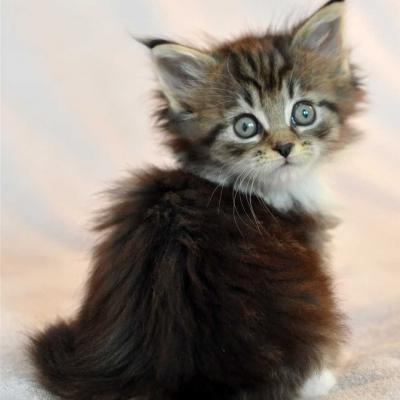 Chaton maine coon 2