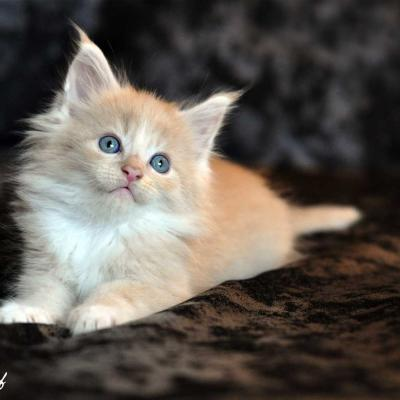 Chaton maine coon 3 1