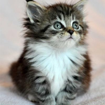 Chaton maine coon 3
