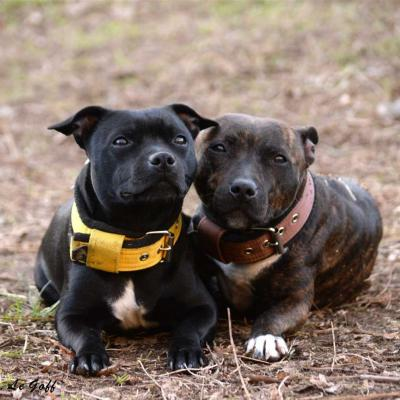 Chiens staffy