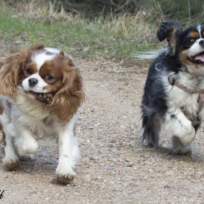 Couple chiens king charles