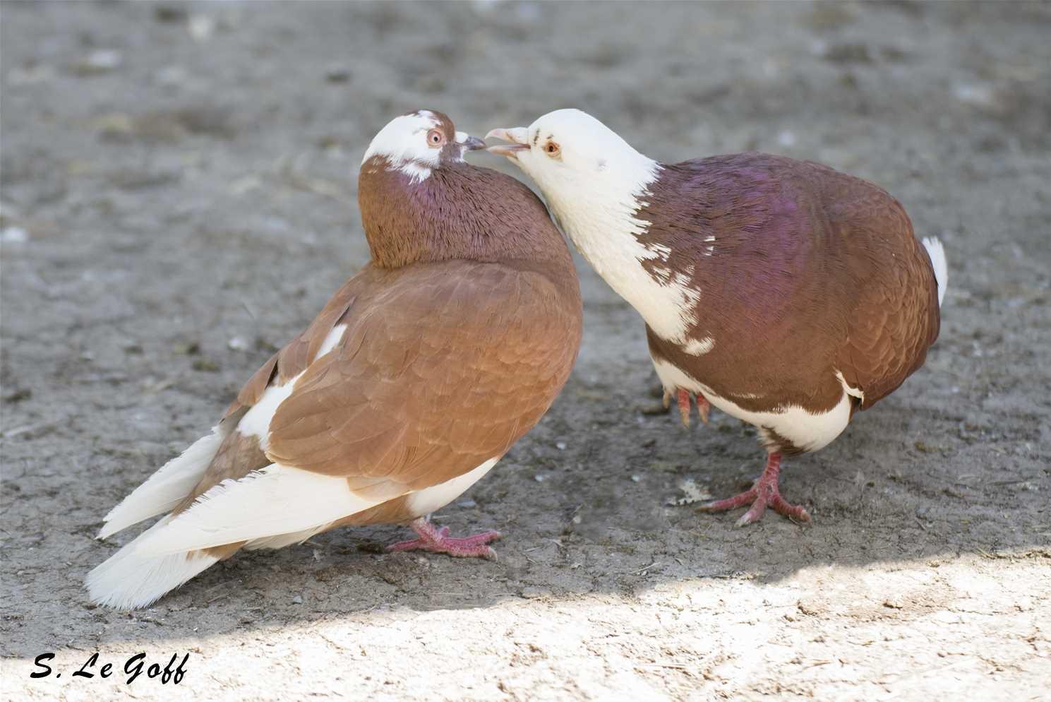 Couple pigeons