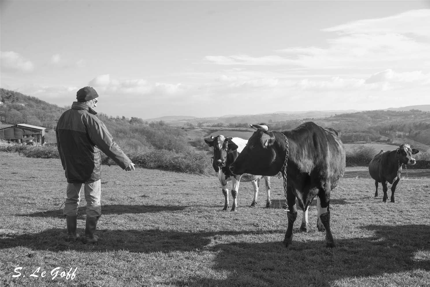 Paysan et ses vaches