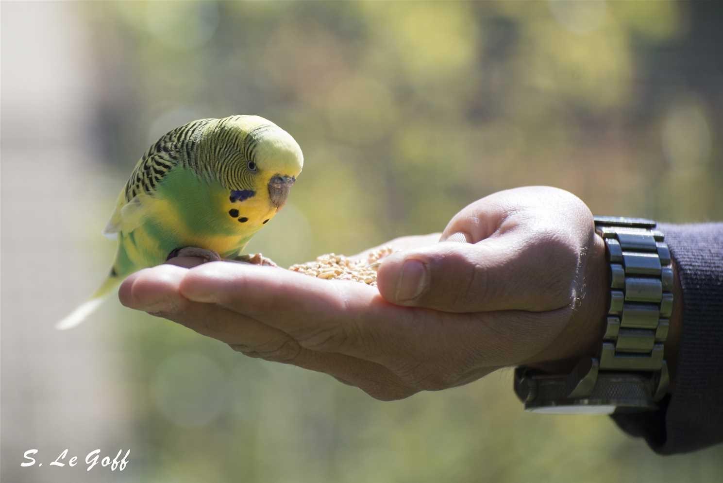 Perruche dans la main